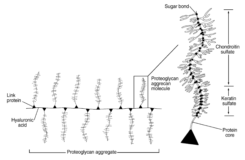 Structure proteoglycans