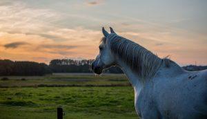 Horse cervical osteoarthritis